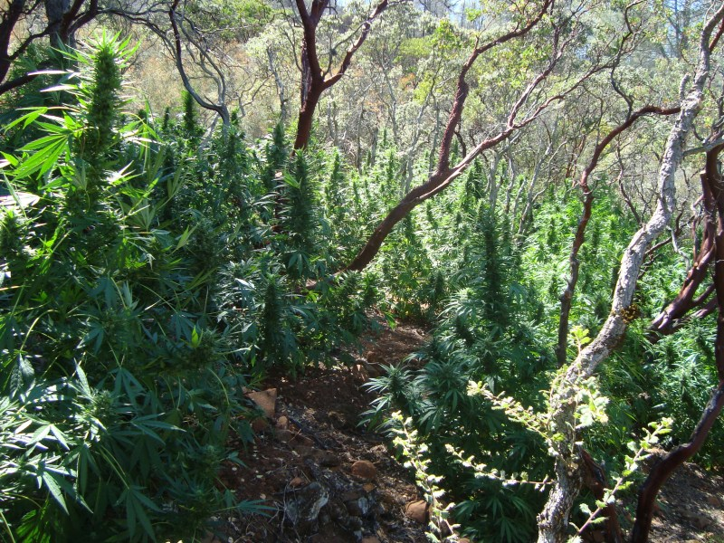 Illegal Marijuana Grow Site Discovered in Napa County