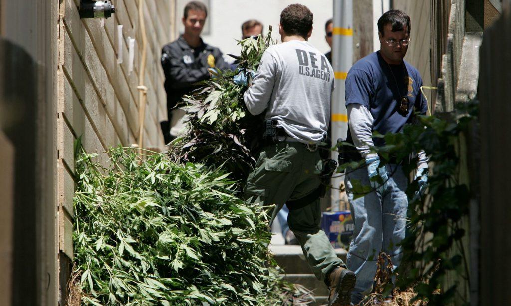 1,900 Weed Plants, 200 Fighting Cocks Seized in San Bernardino County Bust