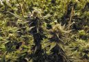 Get Paid $3,000 a Month For Your Own Cannabis Grow Operation