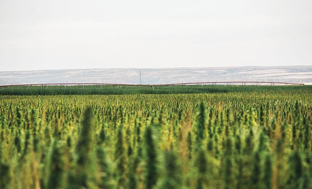 montana-hemp-massive-acreage